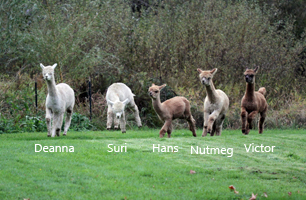 Image of Alpacas