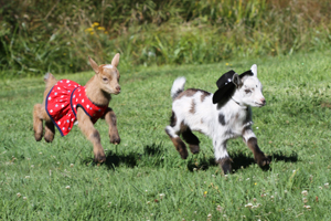 Image of goat babies